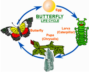 Cocoon Articles and Butterfly Life Cycle | Cocoon and Butterfly ...
